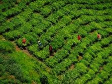 Tea plantation, Uganda