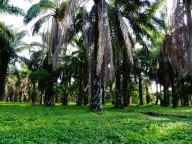 Palm plantation, Tanzania