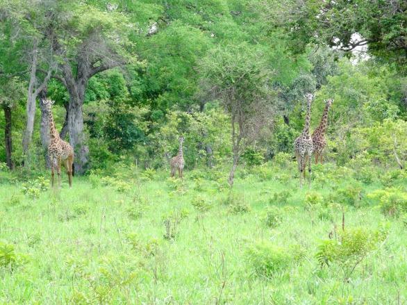 Giraffes chilling in Katavi, Tanzania