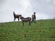 Zebra in our backyard in Chelinda, Malawi