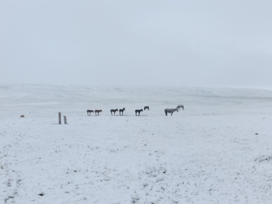 Snow storm in June doesn't bother Kirghiz horses