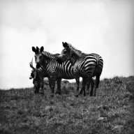 Our very first zebras, Nyika Plateau, Malawi