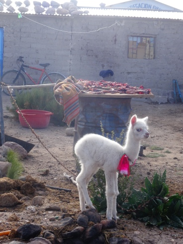 Baby llama and drying meat