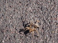Pretty big spider on the asphalt, Chile