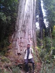 3000 year-old alerce trees