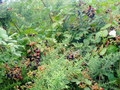 Blackberries !!!