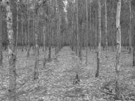 Eucalyptus plantation, Mpumalanga, SA