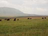 Cattle farming, Mpumalanga, SA