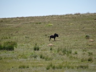 Black Wildebeest, Golden Gate National Park, SA