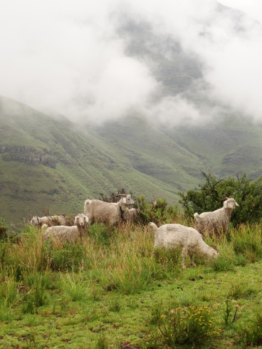 Cattle farming in Lesotho